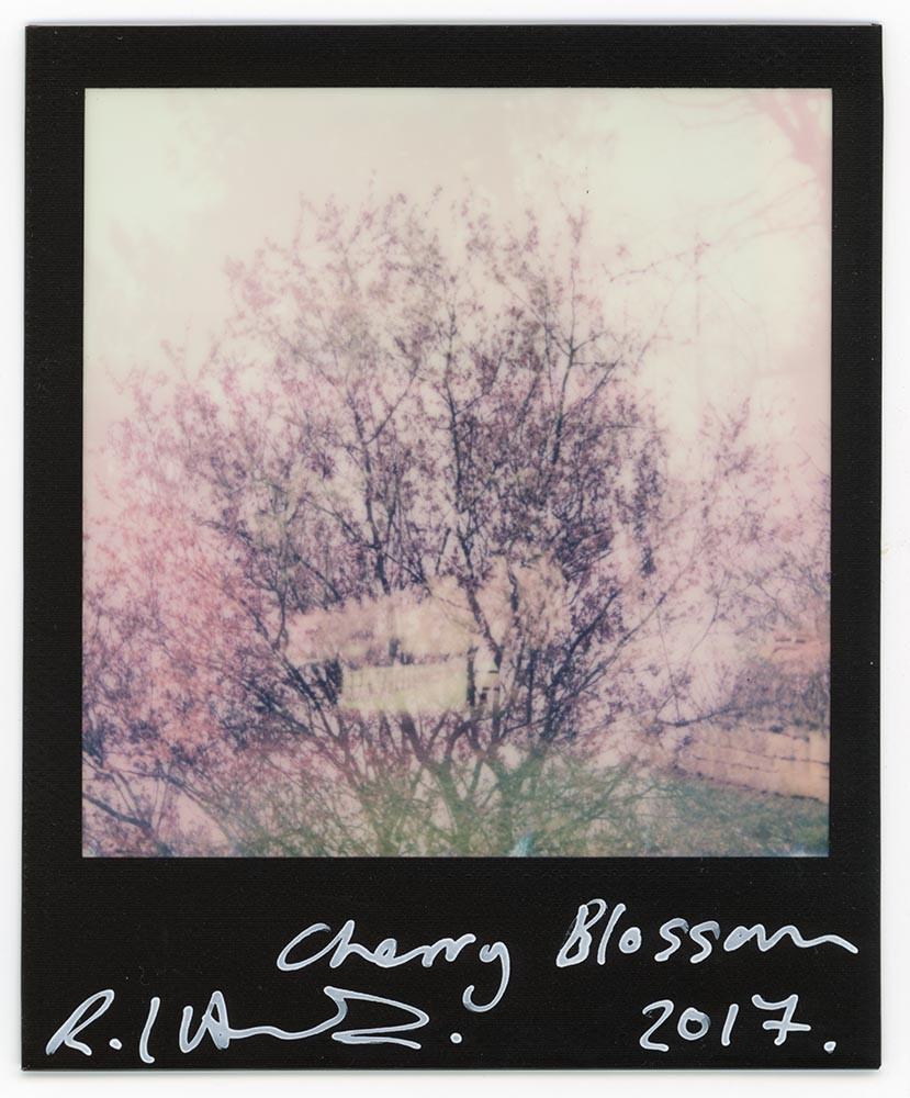 Cherry Blossom, 2017
