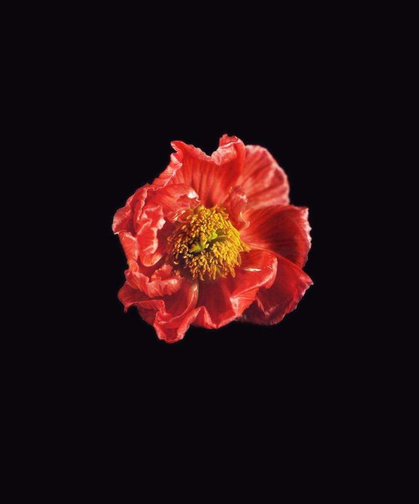 Icelandic Poppy, Red, 2018