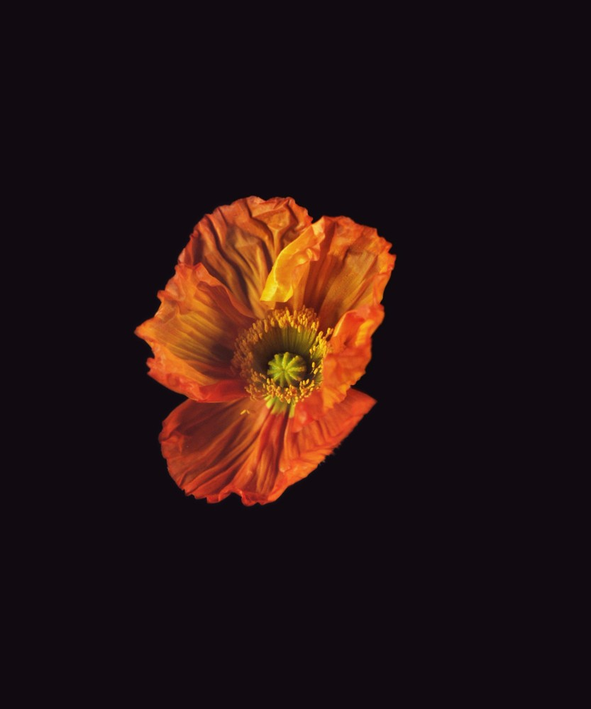 Icelandic Poppy, Orange, 2018
