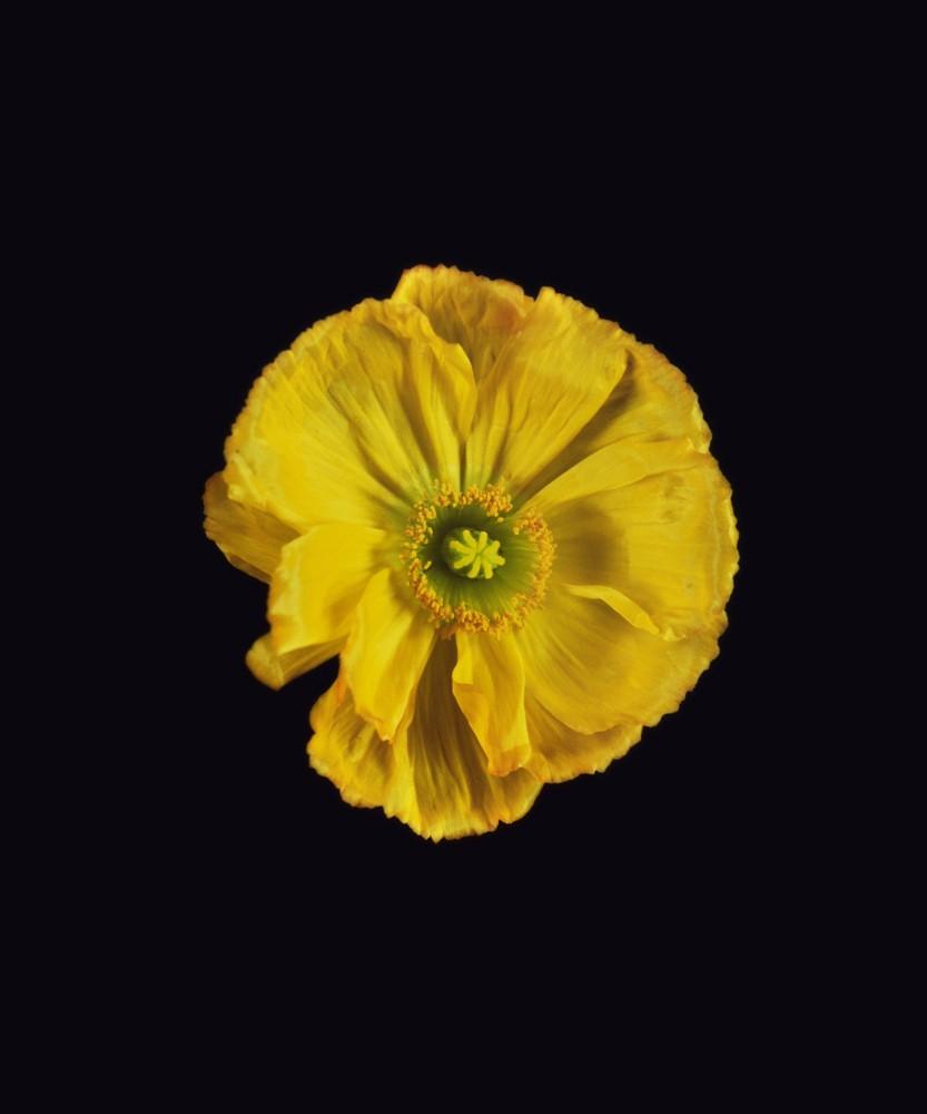 Icelandic Poppy, Yellow, 2018