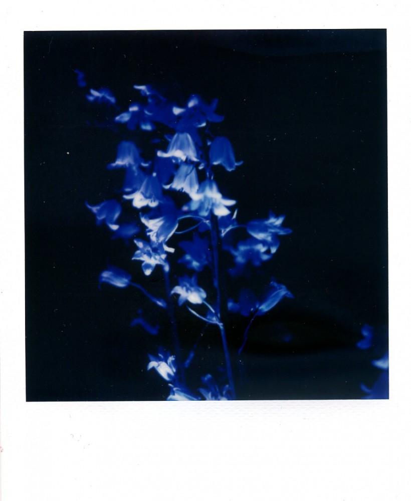 Bluebells Polaroid 2