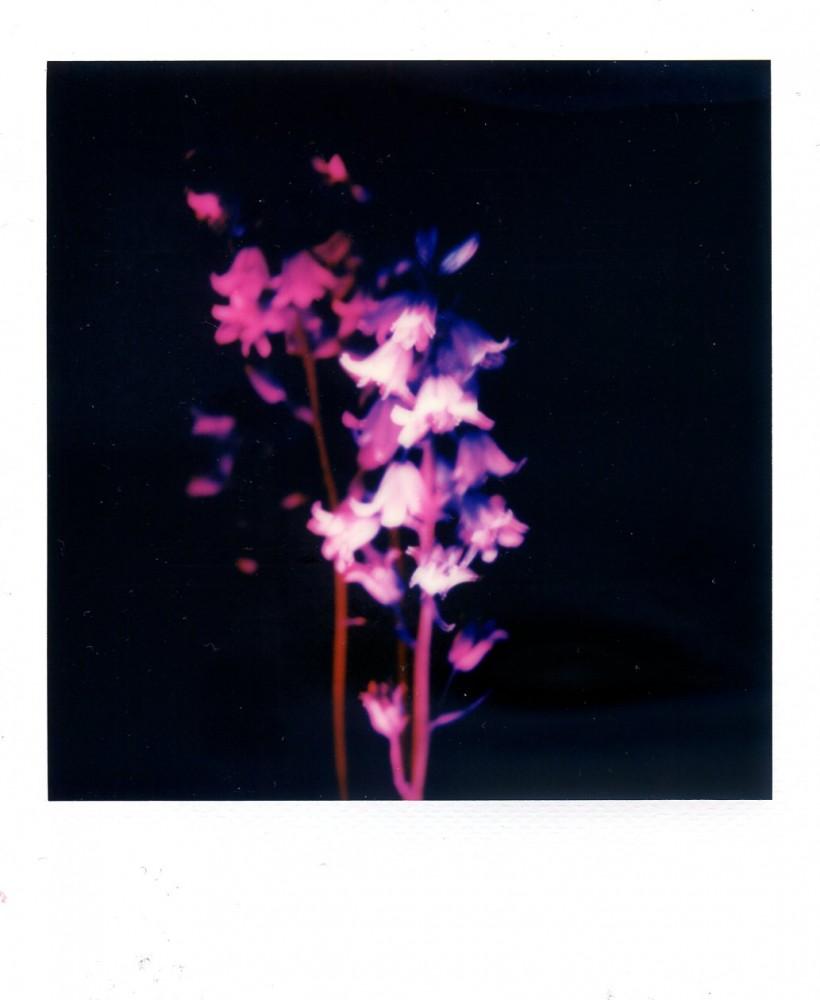 Bluebells Polaroid 5