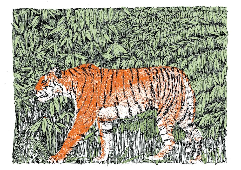 Little Big Cat Tiger