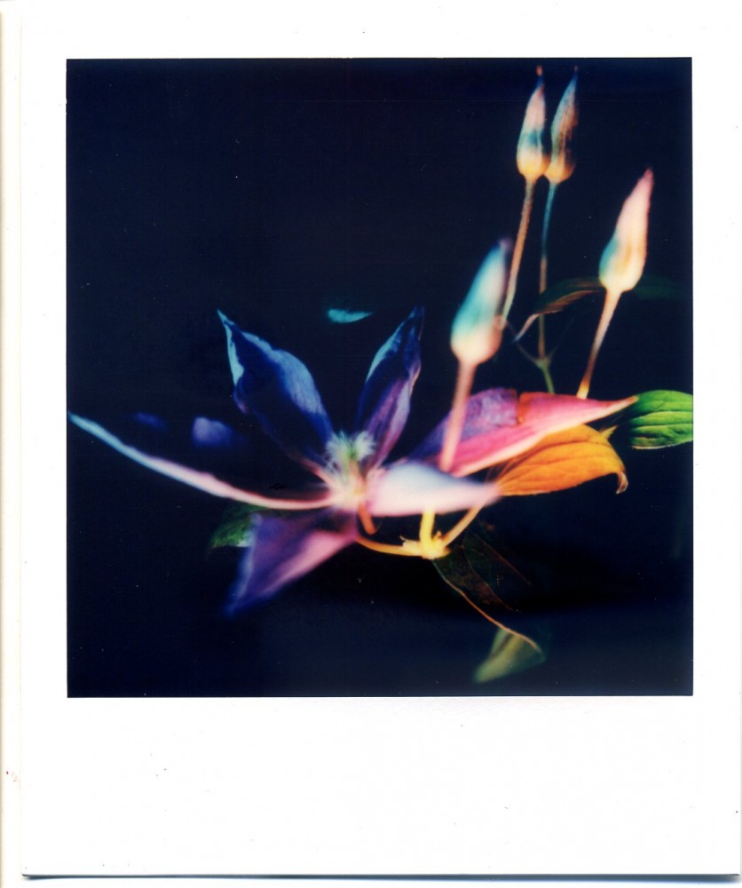 Polaroid clematis 1
